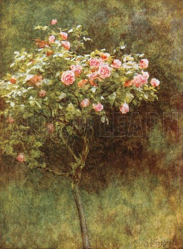 Study of a Rose Bush. Illustration for Happy England by Marcus B Huish (A & C Black, 1909).