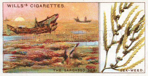 The Sargasso Sea. Sea-Weed. Illustration from Wills's Do You Know cigarette card series, early 20th century.