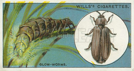 Glow-Worms. Illustration from Wills's Do You Know cigarette card series, early 20th century.