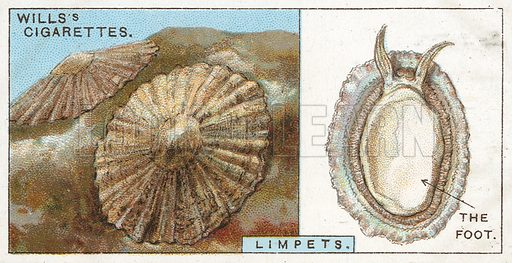 Limpets. Illustration from Wills's Do You Know cigarette card series, early 20th century.