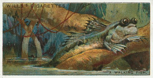 A Walking Fish. Illustration from Wills's Do You Know cigarette card series, early 20th century.