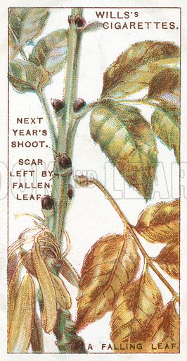 A Falling Leaf. Illustration from Wills's Do You Know cigarette card series, early 20th century.