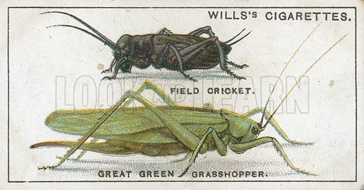 Field Cricket. Great Green Grasshopper. Illustration from Wills's Do You Know cigarette card series, early 20th century.