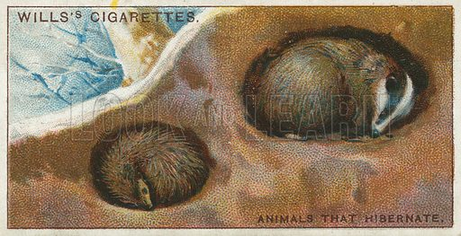 Animals that Hibernate. Illustration from Wills's Do You Know cigarette card series, early 20th century.
