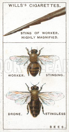 Sting of Worker. Highly Magnified. Bees. Illustration from Wills's Do You Know cigarette card series, early 20th century.