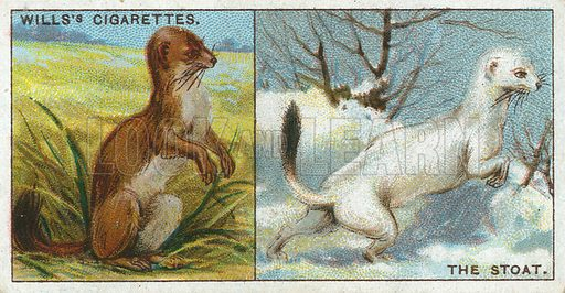 The Stoat. Illustration from Wills's Do You Know cigarette card series, early 20th century.