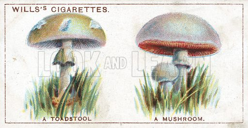 A Toadstool. A Mushroom. Illustration from Wills's Do You Know cigarette card series, early 20th century.