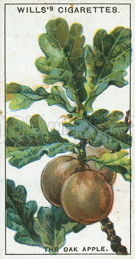 The Oak Apple. Illustration from Wills's Do You Know cigarette card series, early 20th century.