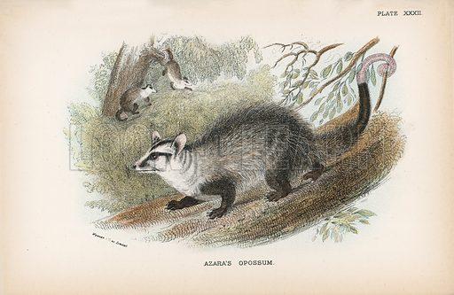 Azara's Opossum. Illustration for A Handbook to the Marsupialia by Richard Lydekker (W H Allen, 1894).
