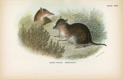 Short-Nosed Bandicoot. Illustration for A Handbook to the Marsupialia by Richard Lydekker (W H Allen, 1894).