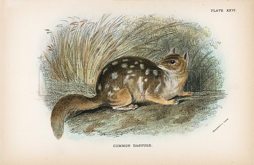 Common Dasyure. Illustration for A Handbook to the Marsupialia by Richard Lydekker (W H Allen, 1894).