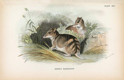 Gunn's Bandicoot. Illustration for A Handbook to the Marsupialia by Richard Lydekker (W H Allen, 1894).