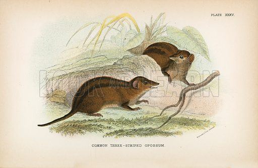 Common Three-Striped Opossum. Illustration for A Handbook to the Marsupialia by Richard Lydekker (W H Allen, 1894).