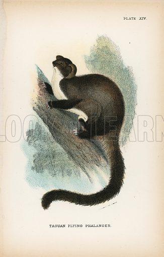 Taguan Flying Phalanger. Illustration for A Handbook to the Marsupialia by Richard Lydekker (W H Allen, 1894).