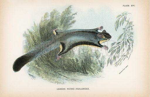Lesser Flying-Phalanger. Illustration for A Handbook to the Marsupialia by Richard Lydekker (W H Allen, 1894).