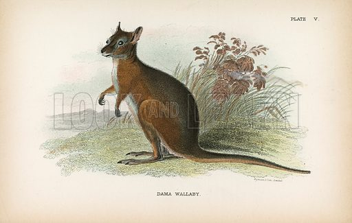 Dama Wallaby. Illustration for A Handbook to the Marsupialia by Richard Lydekker (W H Allen, 1894). Note.  Tissue paper stuck to part of image.