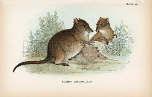 Common Rat-Kangaroo. Illustration for A Handbook to the Marsupialia by Richard Lydekker (W H Allen, 1894).