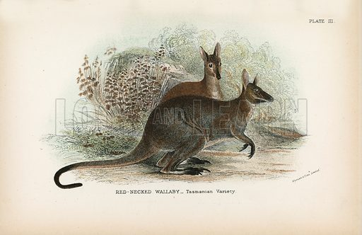 Red-Necked Wallaby_Tasmanian Variety. Illustration for A Handbook to the Marsupialia by Richard Lydekker (W H Allen, 1894).