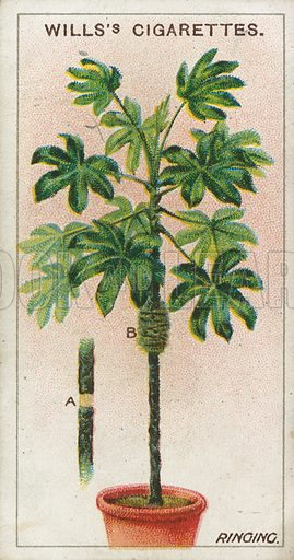 Ringing. Illustration for early 20th century cigarette card.