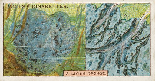 A Living Sponge. Illustration for early 20th century cigarette card.