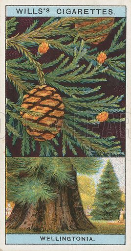 Wellingtonia. Illustration for early 20th century cigarette card.