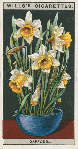 Daffodil. Illustration for early 20th century cigarette card.
