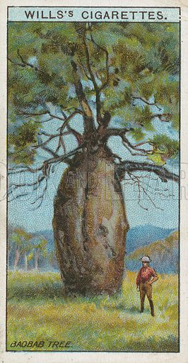 Baobab Tree. Illustration for early 20th century cigarette card.