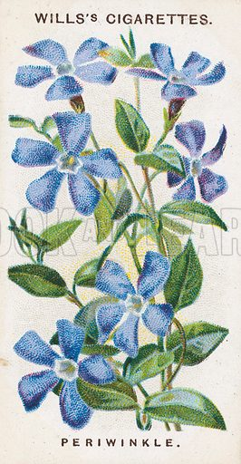 Periwinkle. Illustration for early 20th century cigarette card.