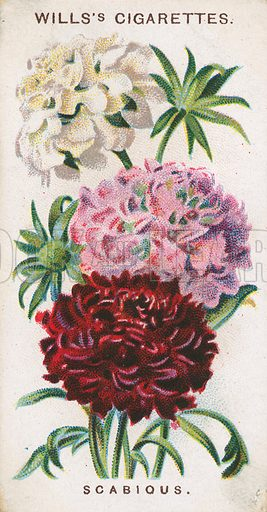 Scabious. Illustration for early 20th century cigarette card.