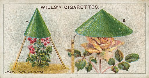 Protecting Blooms. Illustration for early 20th century cigarette card.