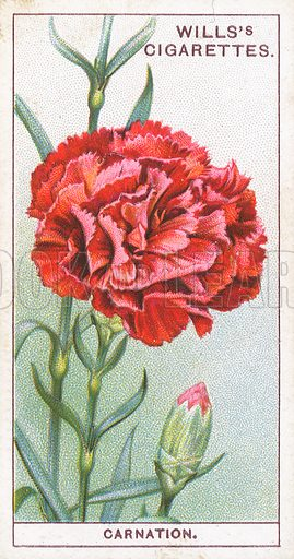 Carnation. Illustration for early 20th century cigarette card.