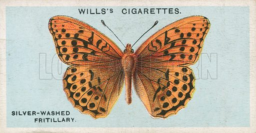 Silver-Washed Fritillary. Illustration for early 20th century cigarette card.