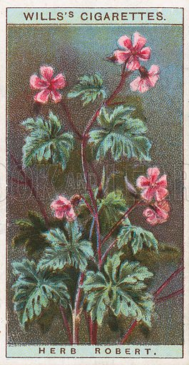 Herb Robert. Illustration for early 20th century cigarette card.