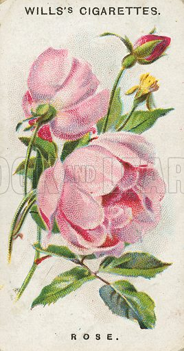 Rose. Illustration for early 20th century cigarette card.