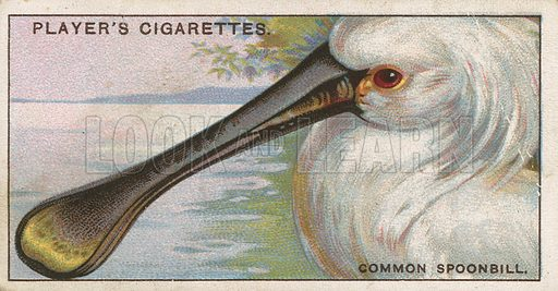 Common Spoonbill. Illustration for early 20th century cigarette card.