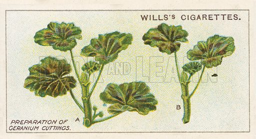 Preparation of Geranium Cuttings. Illustration for early 20th century cigarette card.