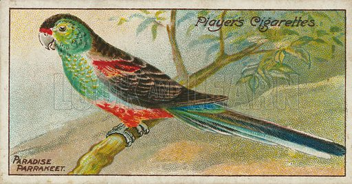 Paradise Parrakeet. Illustration for early 20th century cigarette card.
