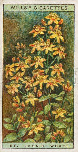 St. John's Wort. Illustration for early 20th century cigarette card.