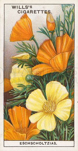Eschscholtzias. Illustration for early 20th century cigarette card.