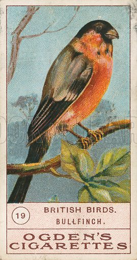 British Birds Bullfinch. Illustration for early 20th century cigarette card.