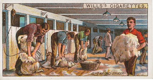 Shearing Sheep. Illustration for early 20th century cigarette card.