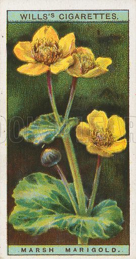 Marsh Marigold. Illustration for early 20th century cigarette card.