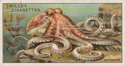 Octopus. Illustration for early 20th century cigarette card.