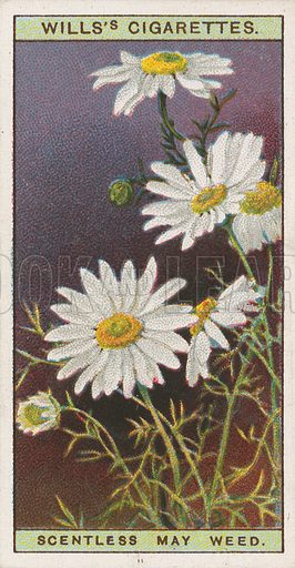 Scentless May Weed. Illustration for early 20th century cigarette card.