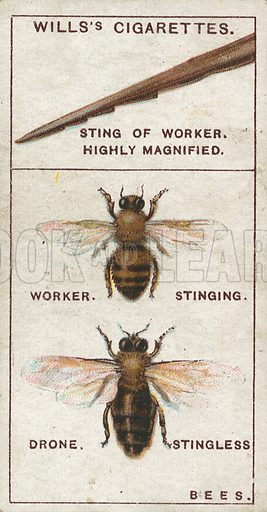 Bees. Illustration for early 20th century cigarette card.