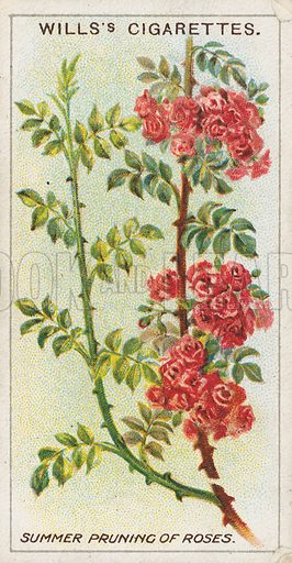 Summer Pruning of Roses. Illustration for early 20th century cigarette card.