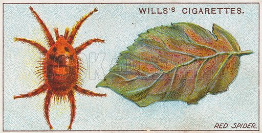 Red Spider. Illustration for early 20th century cigarette card.