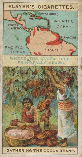 Where the Cocoa Tree Principally Grows. Gathering the Cocoa Beans. Illustration for early 20th century cigarette card.