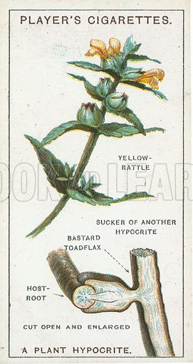 A Plant Hypocrite. Illustration for early 20th century cigarette card.