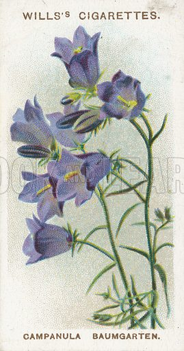 Campanula Baumgarten. Illustration for early 20th century cigarette card.